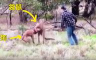 邪惡袋鼠給他愛犬鎖喉,他衝上去他跟袋鼠就擺出拳擊手姿勢「ROUND 1」!