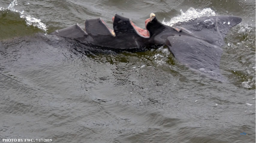 小海豚遭船槳割傷「尾部裂成四塊」,但1年後奇蹟自癒模樣證明當初不安樂死是對的!