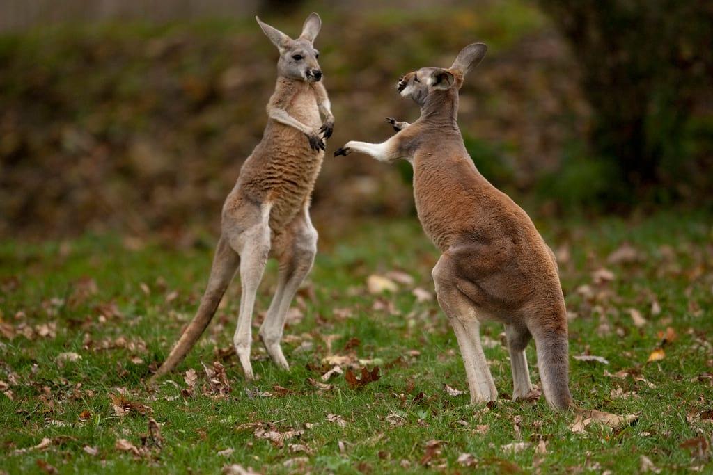 24978unilad-imageoptim-kangaroo-boxing