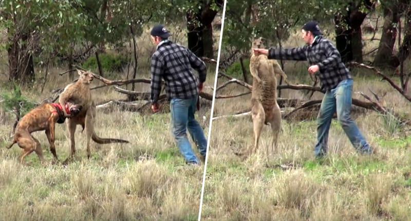 39611unilad-imageoptim-kangaroo-punch-fb
