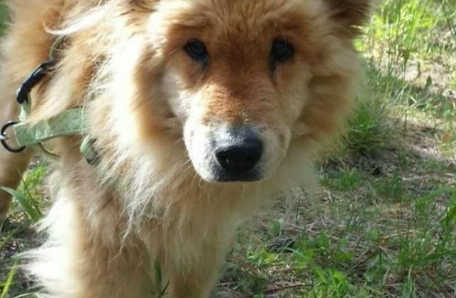 狗狗失蹤一個月後虛弱到站不起來「皮膚上佈滿糞便」,主人找到她看到她狀況時開始爆哭。