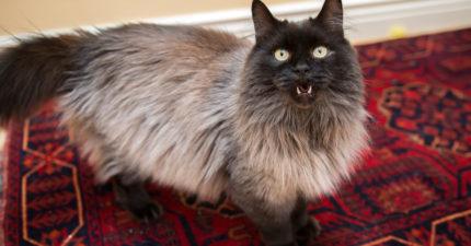 被虐待「老貓」全身潰爛只能流血等死,「2年13萬治療」現在霸氣模樣萌到超犯規!