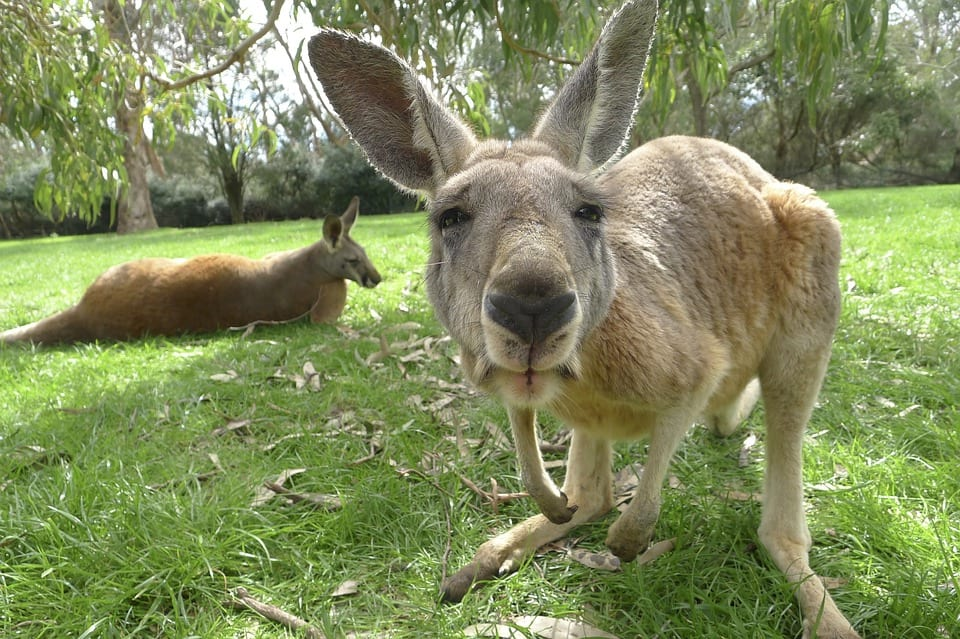 51272unilad-imageoptim-kangaroo-1186177_960_720