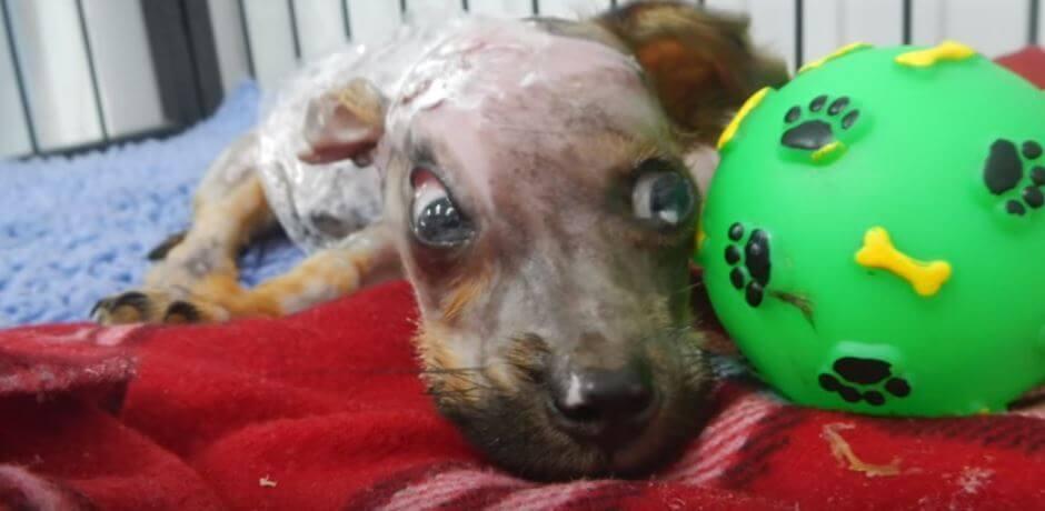 主人因為「手機被咬」把6個月大小狗用熱水燙傷從4樓丟出去,現在他變成這個模樣了。