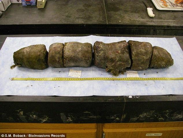 4.8公尺長的蟒蛇「一口氣吃了3隻鹿」,切開大腸「裡面便便超驚人」!