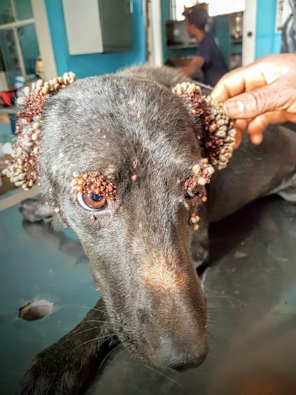 可憐狗狗被發現被「上萬可怕吸血蟲」慢慢吃掉,康復後變「超正」讓你嘴角上揚!