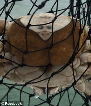 原來麥克傑克遜沒有死,只是轉生到海裡變成螃蟹了!