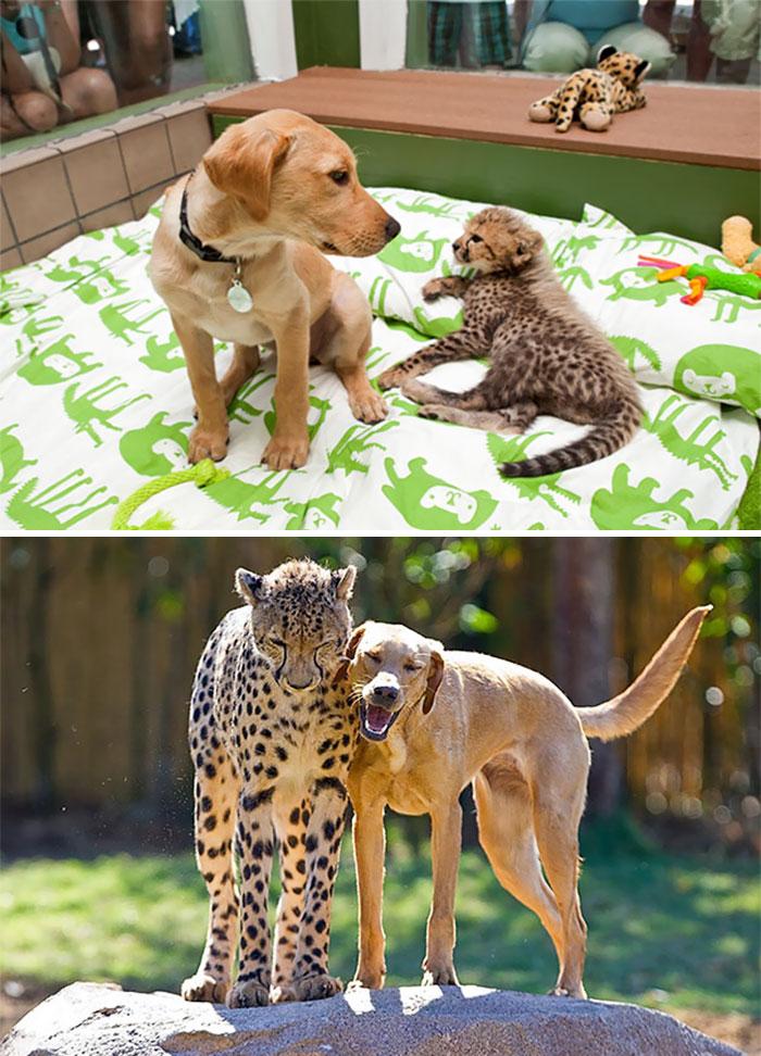 30張從小感情就超好「毛小孩小時候到長大」對比照片!證明人類的友情最脆弱!