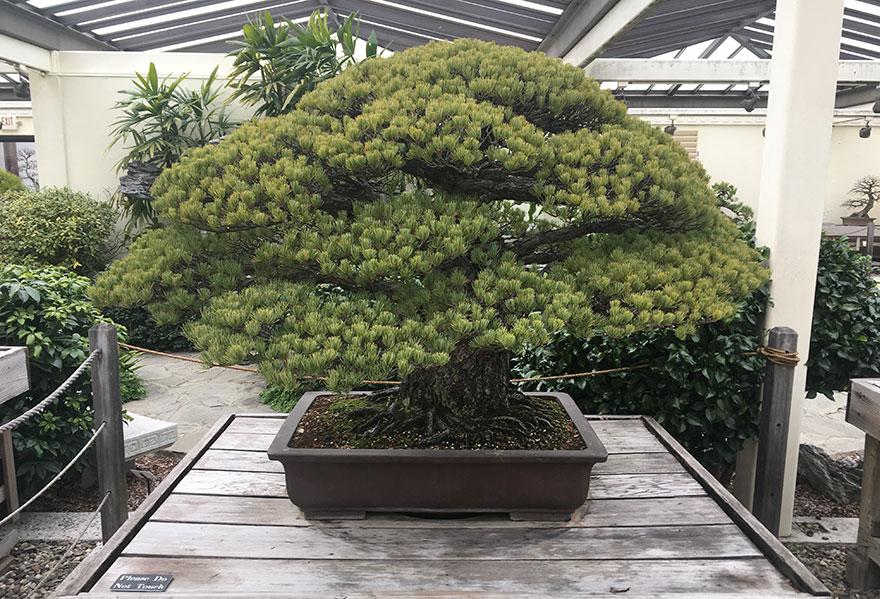 「日本國寶級世紀盆栽」活了400年!從「廣島原子彈爆炸」活下來,看看它現在模樣!