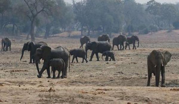 國家公園驚爆22頭大象「一夜之間遭砍頭慘死」,而且象牙都沒有取走「案情不單純」!