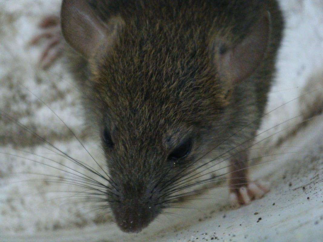 媽媽跑趴回來發現「3個月大女嬰被大老鼠活生生吃掉」慘死,警方:「已經不是第一次了...」