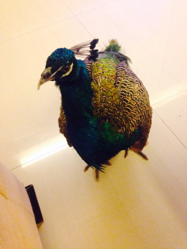 他回老家看到腳邊「一大隻孔雀」,超狂阿公笑:「撿到的!」