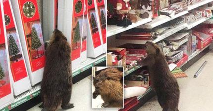 賣場闖入「史上最萌不速之客」大膽行竊,生態環境被人類摧毀「被迫需要學會購物」?!