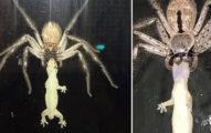 「跟盤子一樣大」巨型蜘蛛吃得很開心,一轉過來「壁虎死不瞑目模樣」讓人心酸...