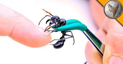 瘋狂主持人挑戰被最強「可捕捉大幾倍獵物的子彈蟻」叮,13:19:痛楚強大到光看都會讓人流汗!
