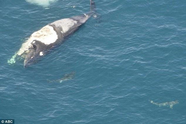26歲白目男子「騎死鯨魚」衝浪以為好玩,下一秒才驚覺自己被大白鯊慘包圍。