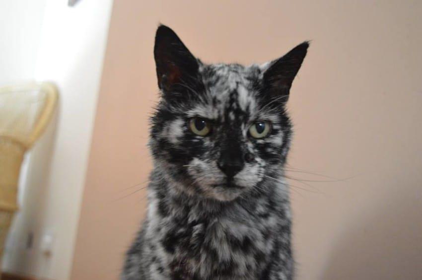 黑貓7歲時得皮膚病後變身「超猛黑白色」,19歲變身完畢「大理石猛獸」模樣超帥!