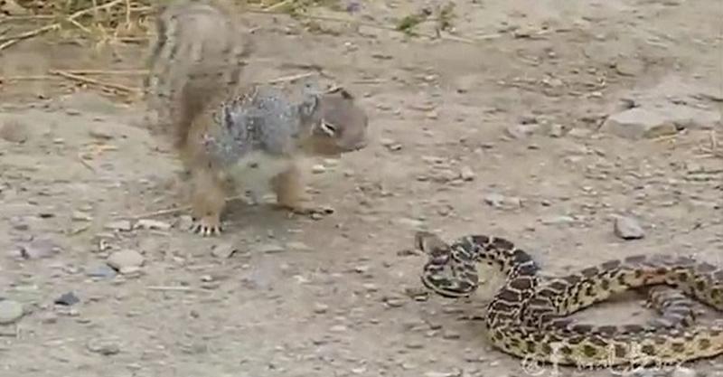餓壞的松鼠不自量力「挑戰蛇」,激戰下場讓人吃驚...
