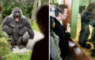 動物園員工一直跟女遊客不要對大猩猩微笑,不聽勸告被攻擊到全身骨折受傷...