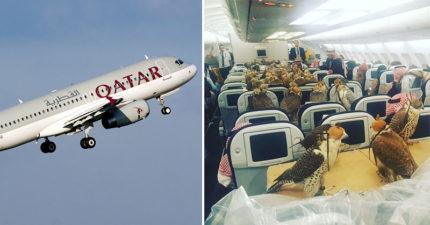 超狂沙烏地阿拉伯王子幫「80隻老鷹」買頭等艙機票,網友笑:「不知道老鷹會飛嗎?」
