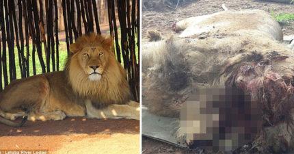 南非獅子遭到「斬首、砍斷腳掌」血腥畫面超驚悚,全因「黑魔法」!