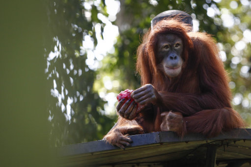 為何人類的GG比猩猩大很多但睪丸卻很小?人類學家:我們才是真正的暴露狂。