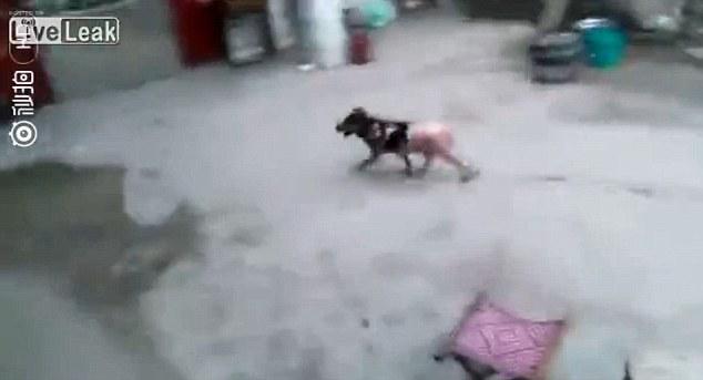 中國男子將狗「活生生丟進滾水」還蓋住,狗狗下半身無毛痛逃哀鳴...(非趣味)