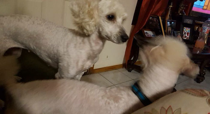 Arguello claims her poodle was the first male dog to interact with her female dog, Mocca. Nonetheless, the color of the puppies have lead the family to think Mocca might have been secretly sneaking out at night to interact with other male canines.