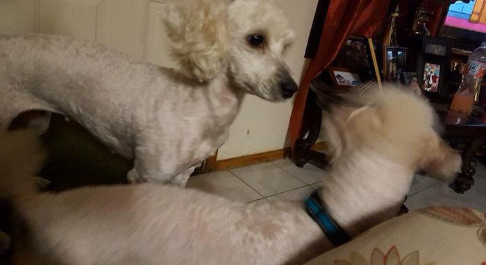兩隻白色狗狗竟然生了一大堆「黑色毛寶寶」,狗爸爸看到時「表情超臭」!