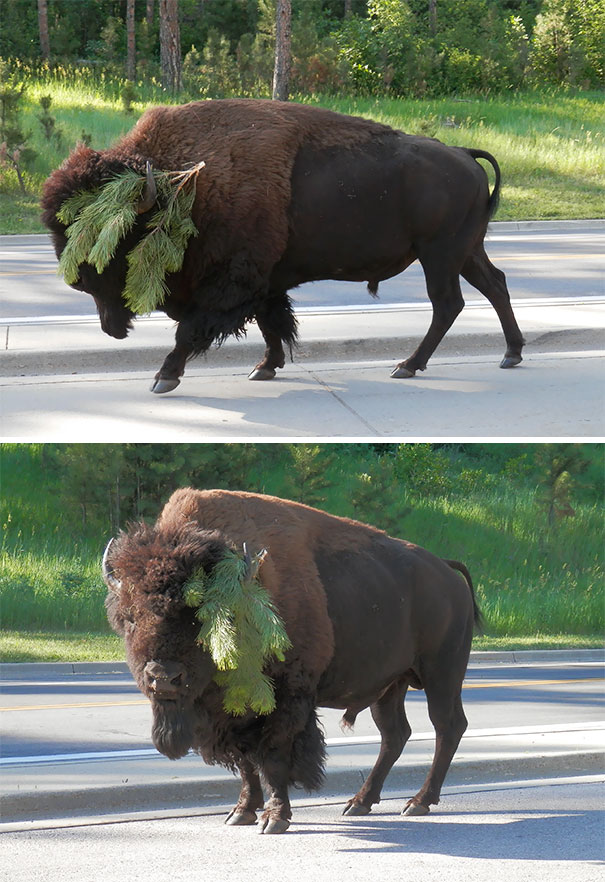 It's Funny How The Buffalo Can Go From Majestic & A Little Scary To Completely Stupid-Looking In A Matter Of Seconds