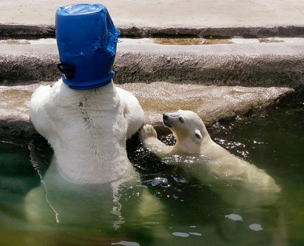 A Polar Bear Cub Looks At An Adult Polar Bear Resting With A Bucket On Its Head In The Cooling Waters Of A Pool
