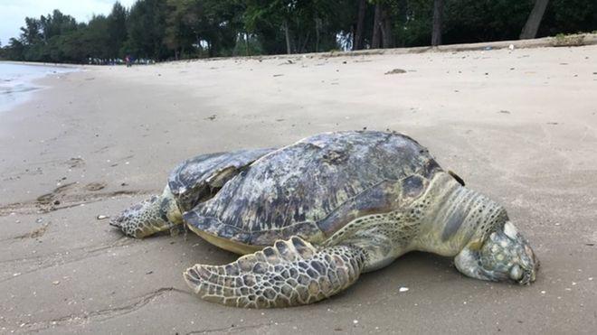 他在海灘看見巨大罕見海龜忍不住過去看,眼前「化成兩半」慘況卻讓他徹底心碎...