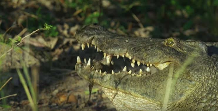 他們派出「假鱷魚間諜」混入蛋堆,拍到鱷魚媽媽大口一張「吃下寶寶」爆感人!
