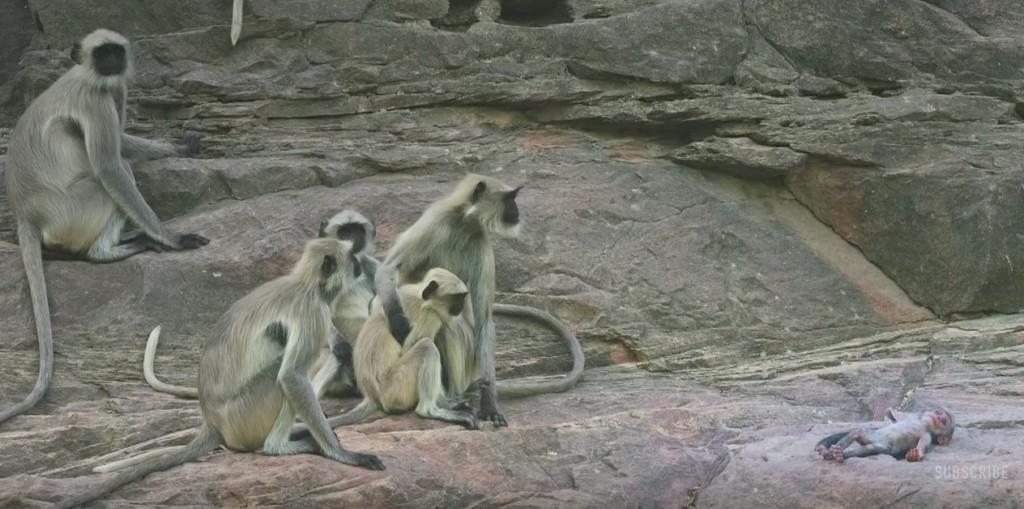 他們讓「假機器猴」潛入然後死亡 猴子悲痛哀悼過程讓人重新認識猴子!