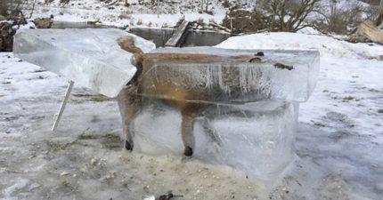 寒冷天氣襲擊歐洲,居民驚見一整隻被大自然「完美冰封的狐狸」儘快搶救!