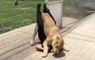 母獅子看到多年不見的人類爸爸時,「狂奔撲倒」讓眾人流淚!(影片)