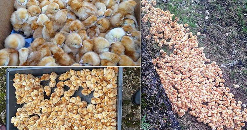 空地發現1000隻「剛出生一天」小雞狂哭!現場驚現「一片黃海」活活等死!(影片)