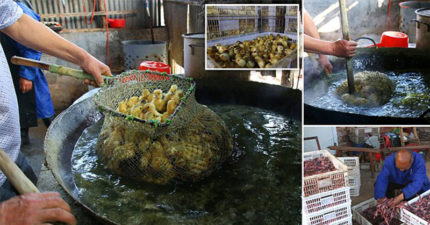 被偉大的人類認定沒有價值,中國一天「幾十萬隻小雞慘油炸」弄死丟掉。(非趣味/影片)