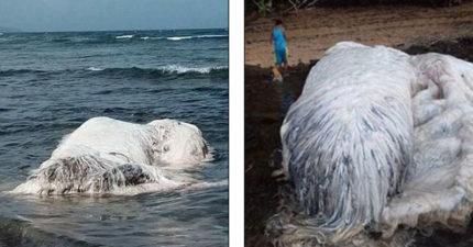 菲律賓海岸驚見「白色長毛海怪」民眾紛圍拍,1924年出現過「鯨魚跟北極熊的混種」?!