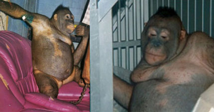 紅毛猩猩「淪為性奴」全身剃光男人超愛,「35名警察手拿AK47」衝進去救援!(非趣味)