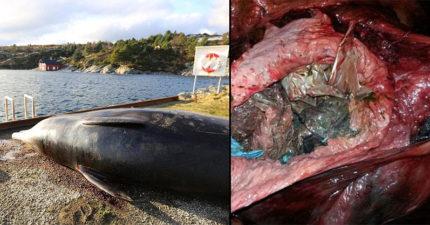 科學家發現鯨魚胃中「多達30個塑膠袋」瘦到只能殺死,專家:「一點都不意外」
