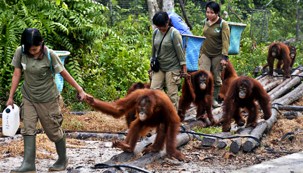 紅毛猩猩「淪為性奴」全身剃光男人超愛,「35名警察手拿AK47」衝進去救援!