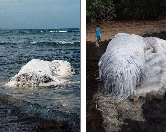 菲律賓海岸驚見「白色長毛海怪」 網友認出「95年前的神獸」:祂是鯨魚跟北極熊的混種