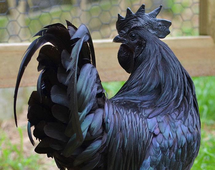 雞界藍寶堅尼「罕見神秘全黑雞」一隻要價7萬7,內臟骨頭全黑只有「這裡」不是黑色!