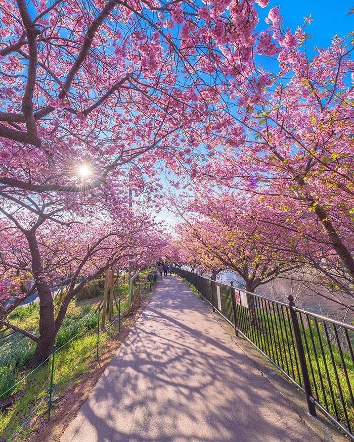 每到春天這個小鎮就會整個變成粉紅色「8000棵櫻花樹」,11張照片根本就是魔幻世界!(11張)