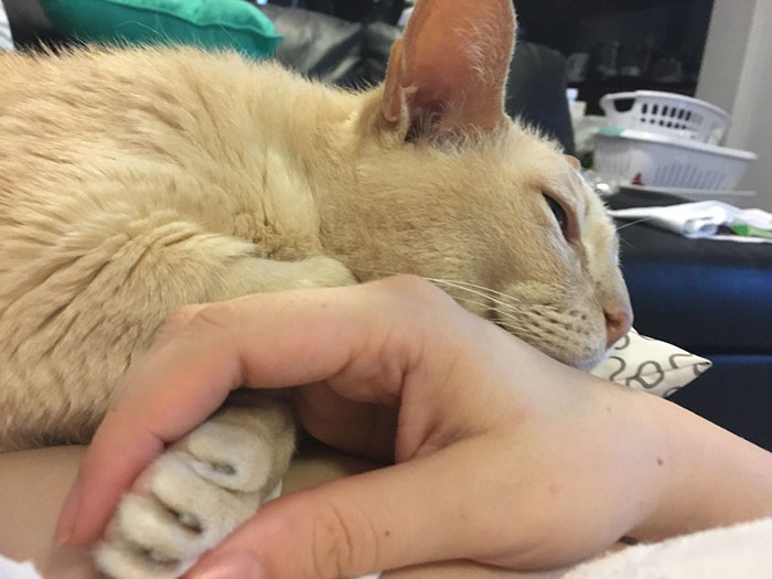13歲貓爺爺從收容所被領養,「一定要牽手才能睡著」放手還會抓回去心靈相通!