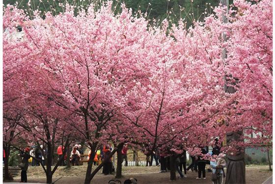 15個櫻花季必去勝地「比日本更美的台灣賞櫻秘境」!