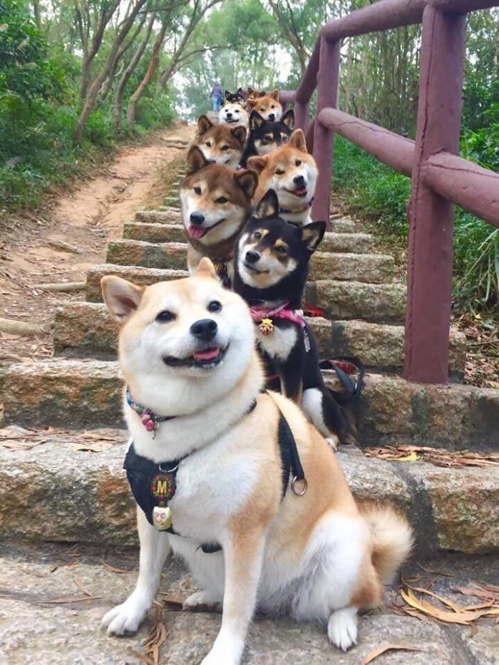 10萬網友被10隻「柴犬階梯照」萌昏頭,被狗狗分身術騙慘!