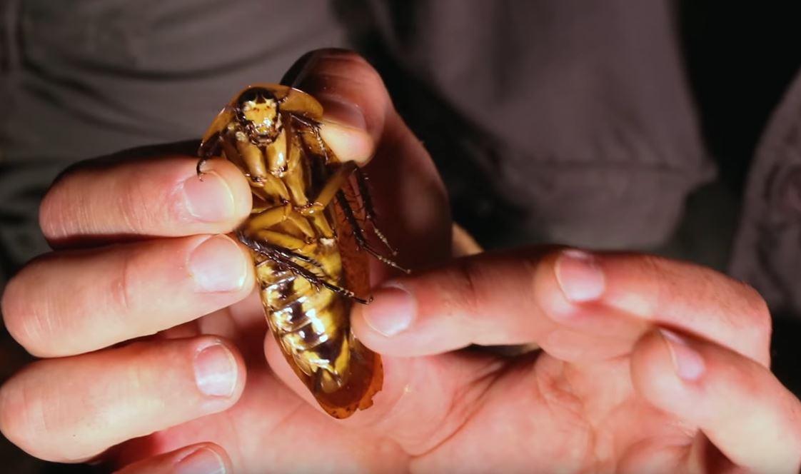 雨林探險遇「跟小老鼠一樣大巨大凶狠蟑螂」,7:32「看到背面爬上身體」頭皮發麻狂尖叫!(影片)