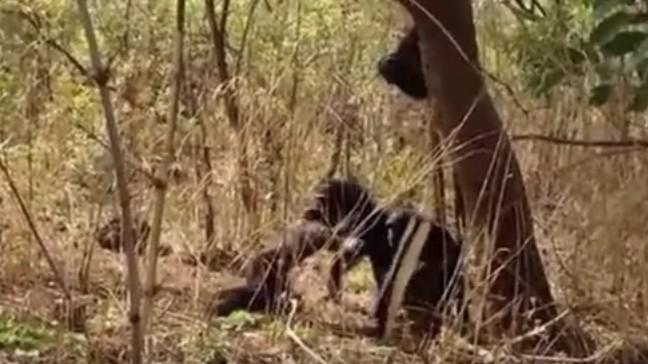 前猩猩王在回到族群「奪權失敗」,被集體虐殺後「鞭屍+吞噬」!(影片)